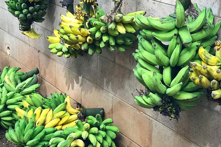 hanging apple bananas maui yoga