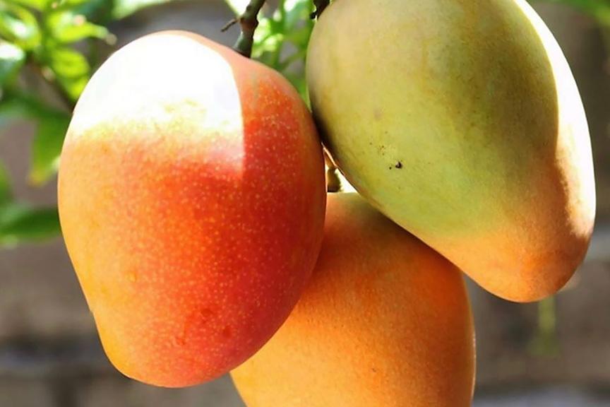 mangos maui paia fruit and farmstand